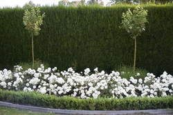 white meidiland groundcover rose 2015 faceys nursery. Black Bedroom Furniture Sets. Home Design Ideas