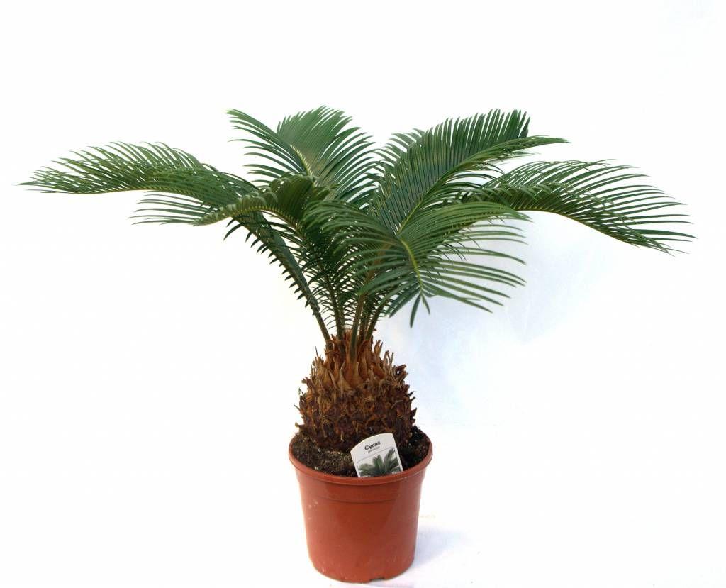 Cucas Palmvaren