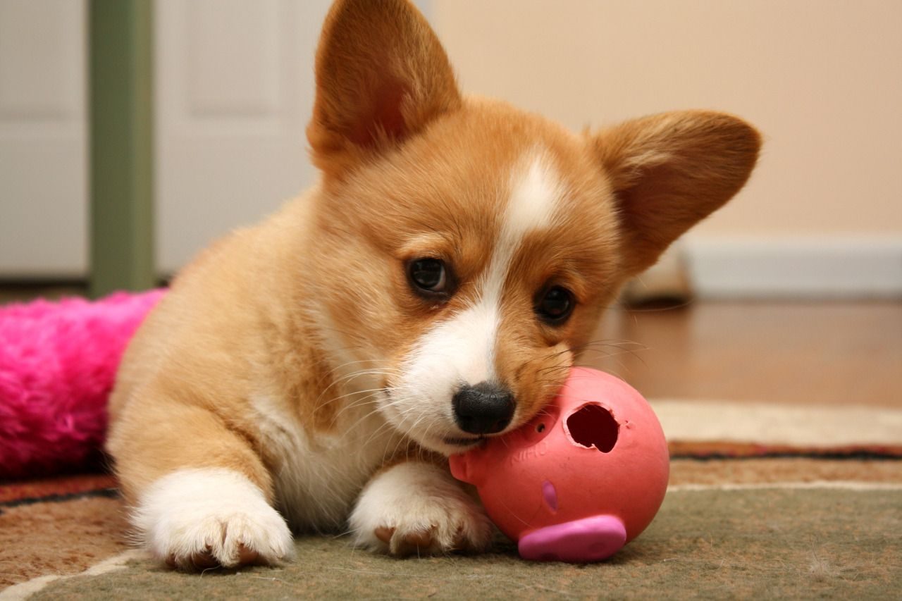 He Loves This Chewed Up Old Piggy Ball Eevee S Evolution