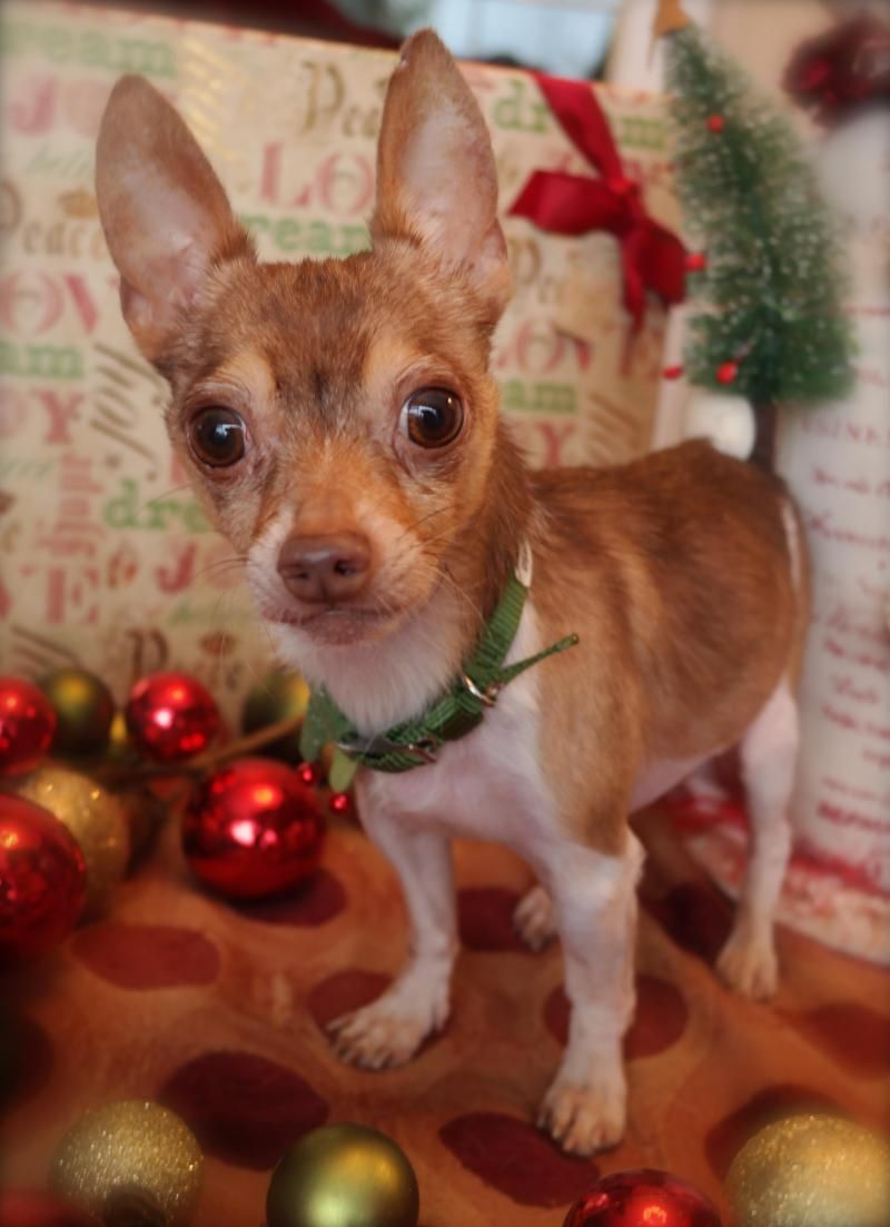 Adopt Chappy On Christmas Animals Chihuahua Love Chihuahua Puppies