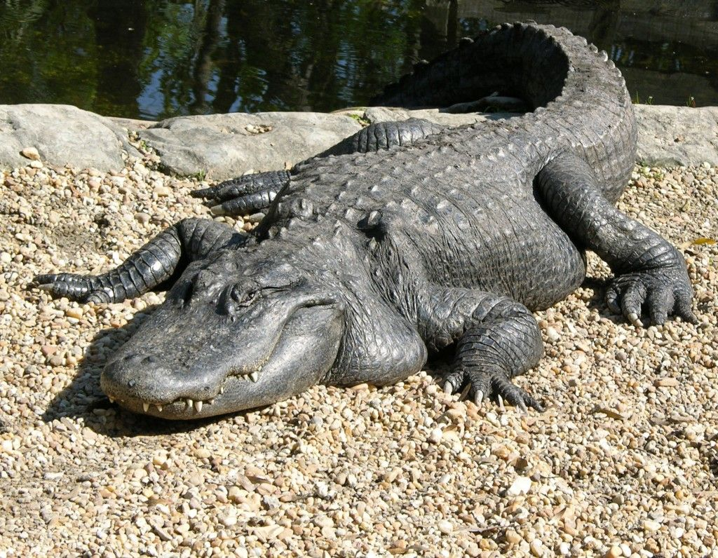 alligators and crocodiles   Florida alligator 1024x796 ...  alligators and ...