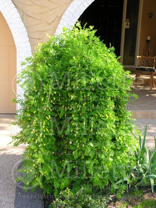 Weeping Pea Shrub Here is a great plant for the landscape that is
