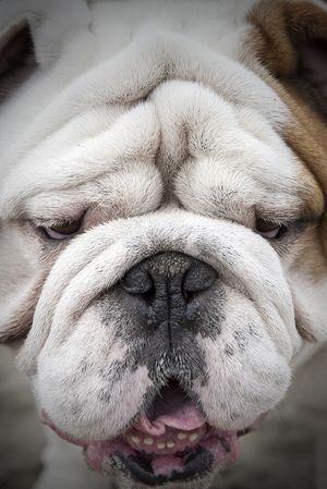 Frameyourpet Co English Bulldog White Dog Puppy Dog Photography