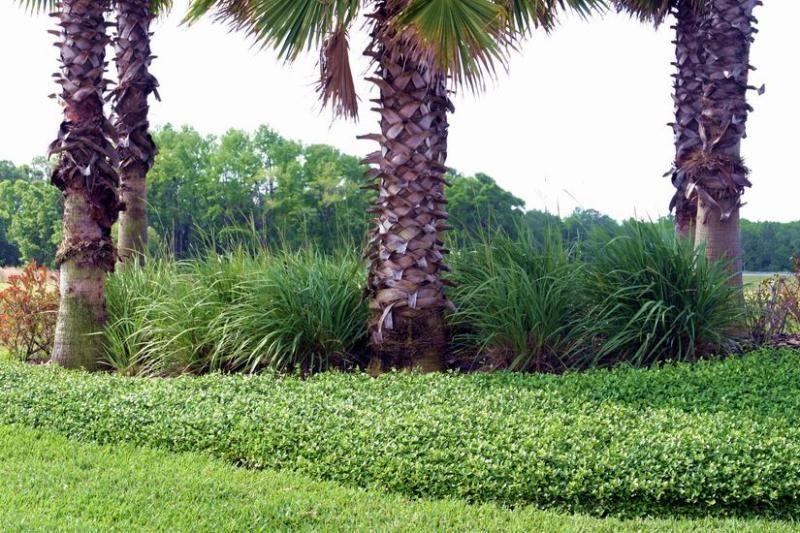 dwarf fakahatchee grass in understory