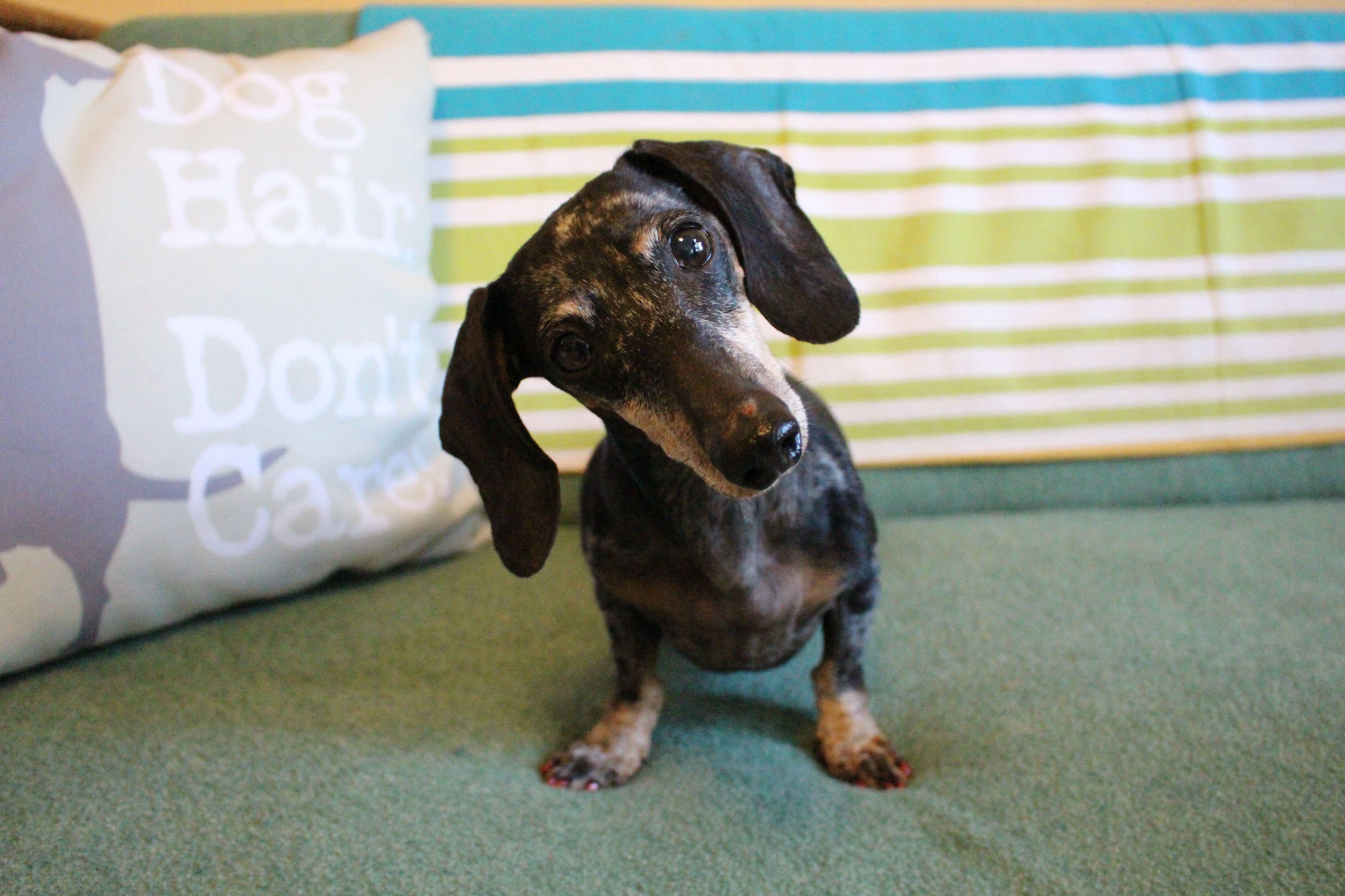 Dachshund Dog For Adoption In Benton La Adn 514428 On