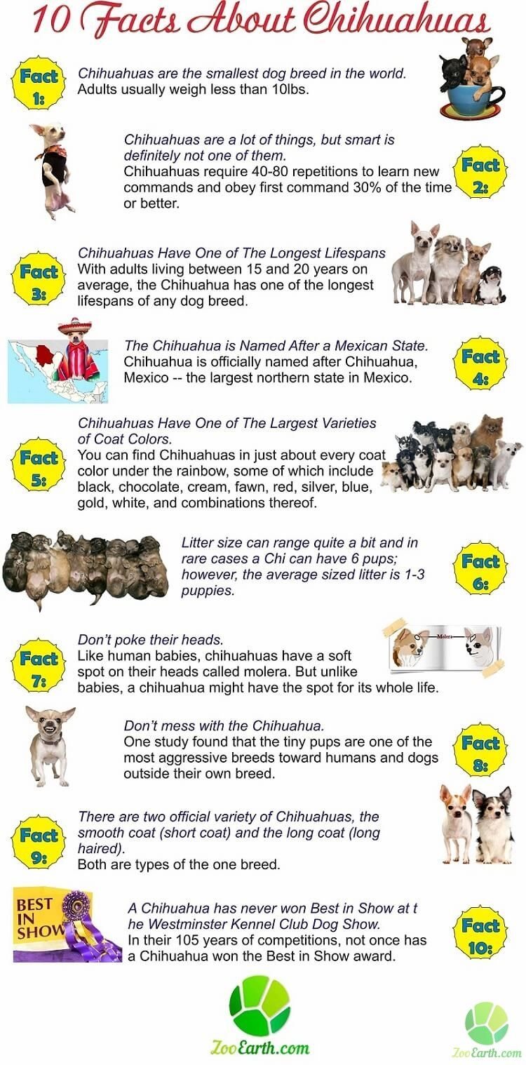 Chihuahua Facts Infographic Chihuahua Facts Cute Chihuahua