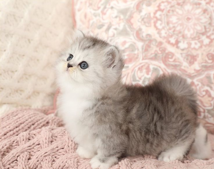 Ragdoll Kittens White Cats And Kittens