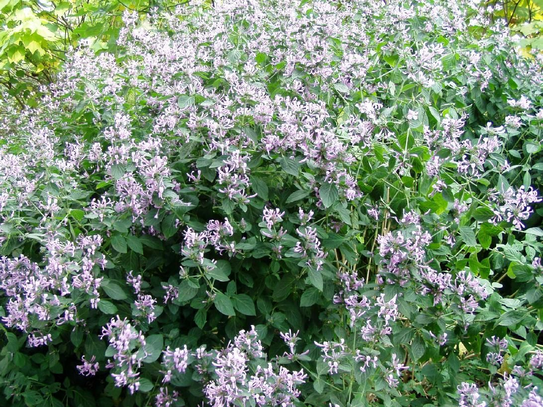 Ribbon Bush Hypoestes Aristata African Plants Plants Waterwise Garden