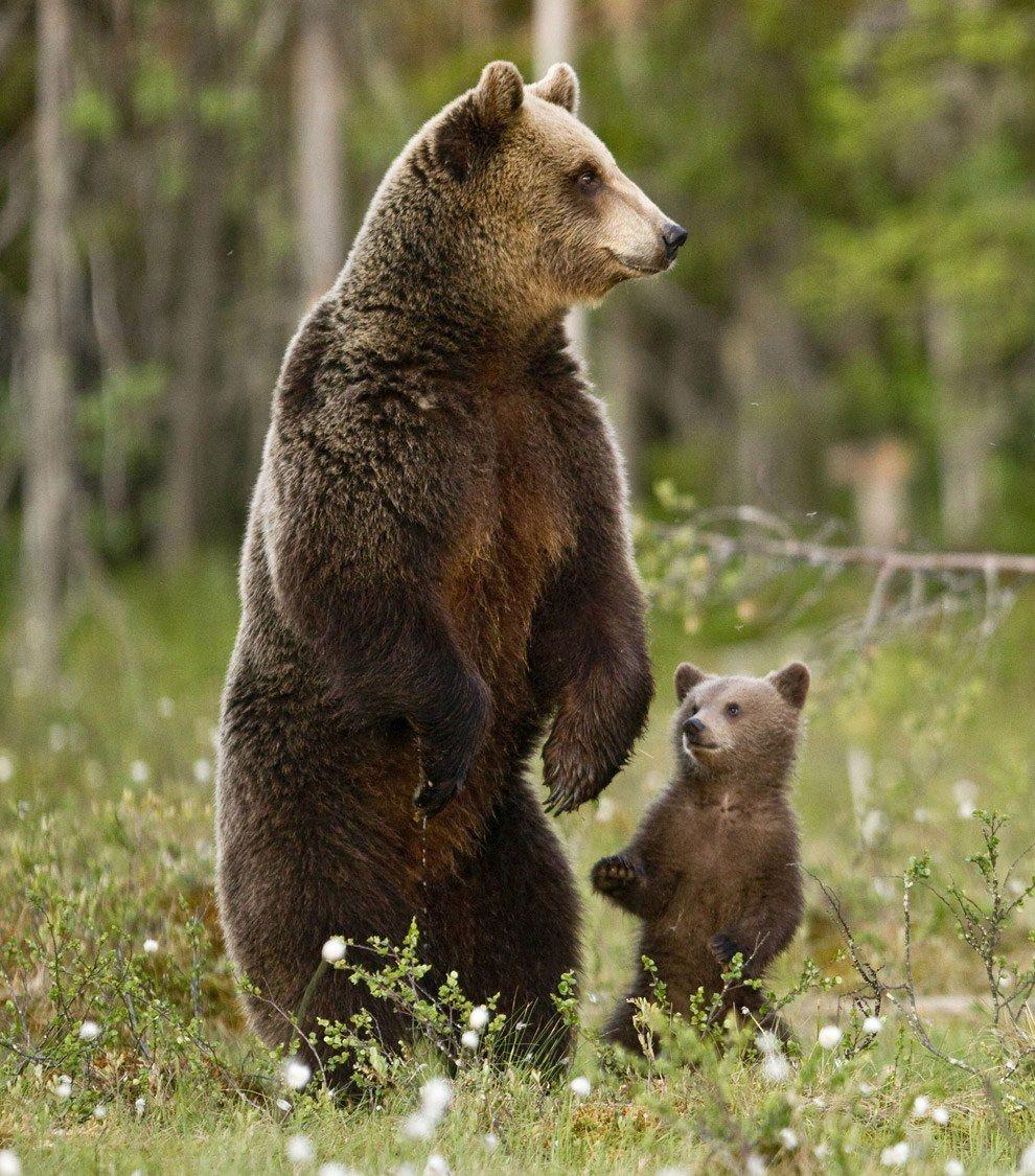 Картинки про медведя бурого, открытках