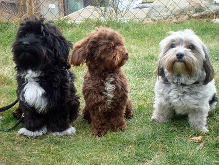 Bolonka Zwetna Zwinger Del Monte Menor Willkommen Auf Unserer Bolonka Zwetna Bolonka Hunde Rassen