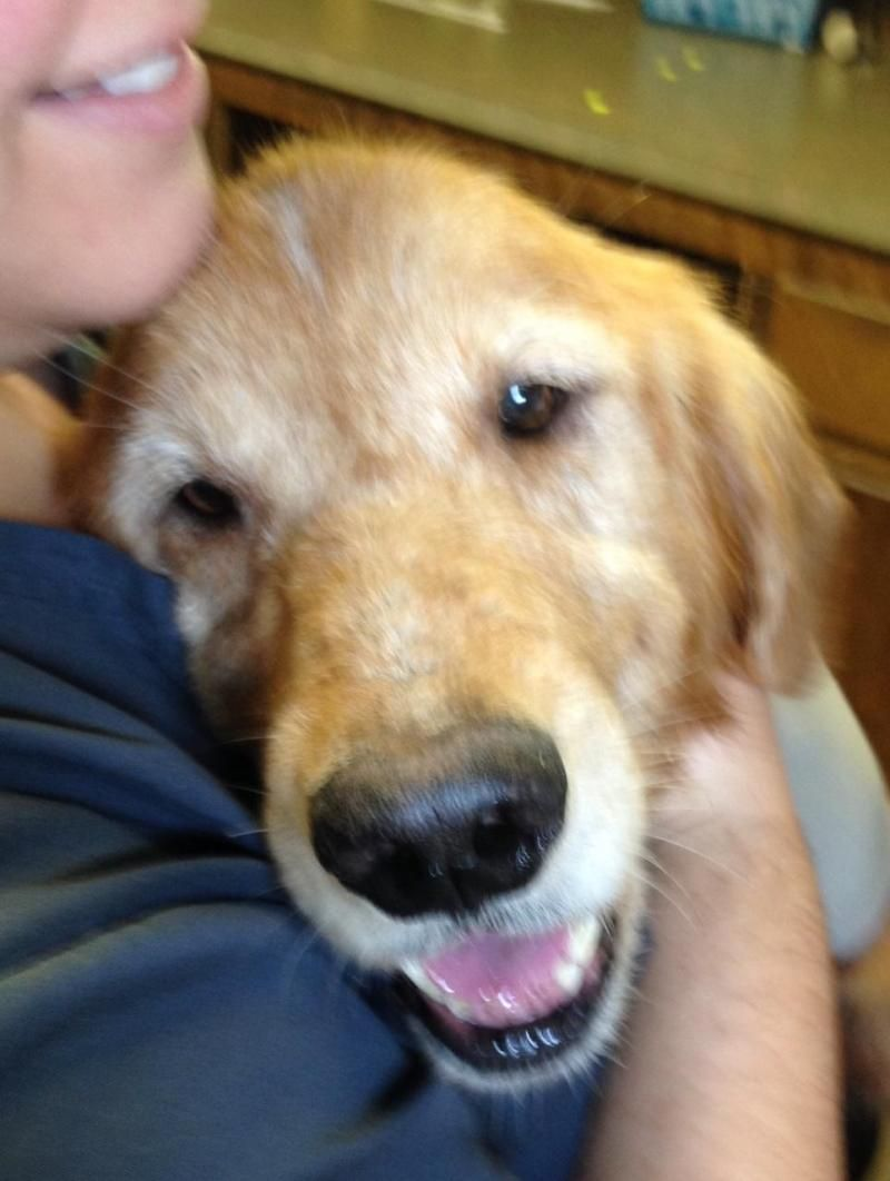 Adopt Fitz on Dogs golden retriever, Golden retriever, Dogs