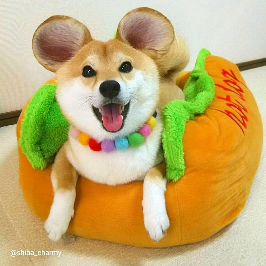 Charmy Mouse 流行りの耳ッキーやってみた 黒柴ちゃんがやったら本当にミッキーみたいになりそー チャミッキー 耳ッキー ビューティープラス Beautyplus 柴犬 犬 可愛い 動物