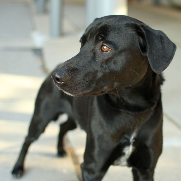 Ashton is a beautiful Lab mix and a shelter dog. Dogs