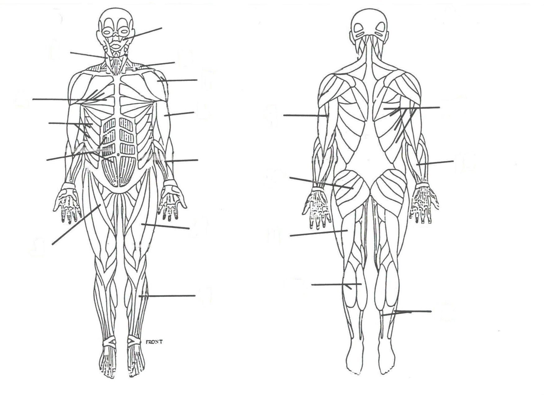 muscular system without labels   muscular system without labels muscular system without labels