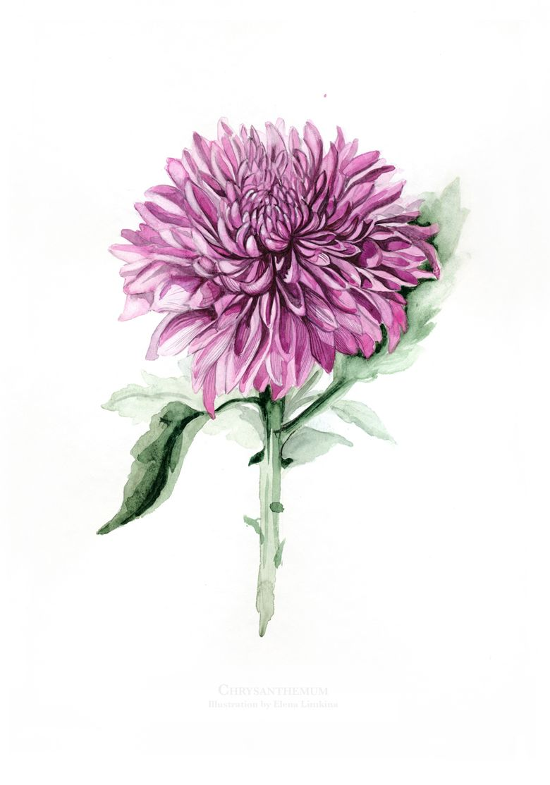 Watercolour Illustrations Of Chrysanthemum Flower By Elena Limkina Dibujos Tatuajes Pinturas