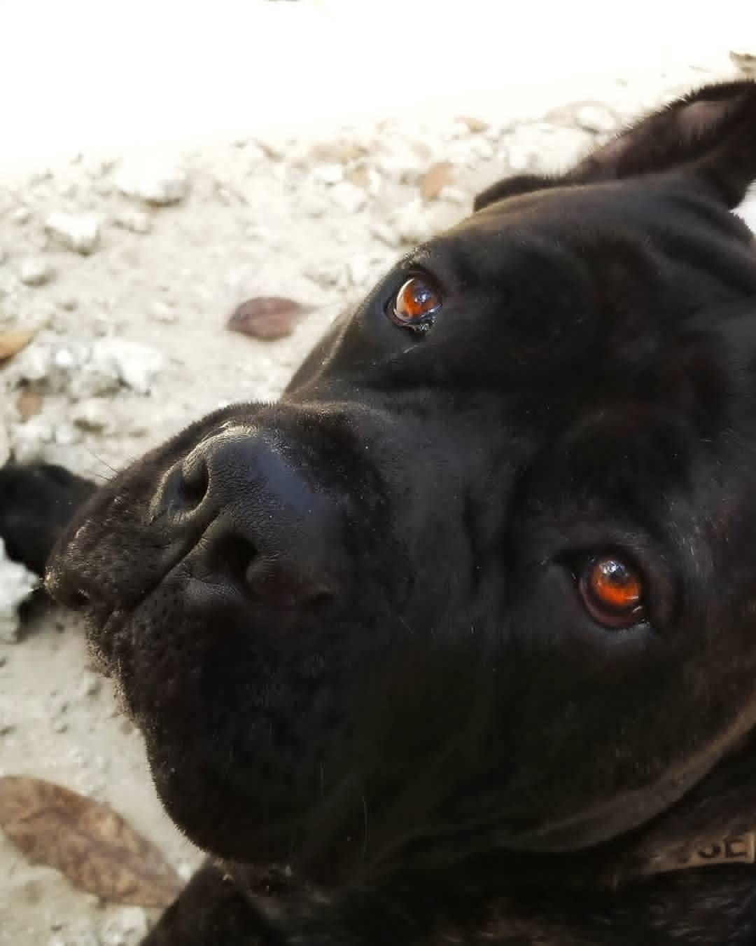 Polubienia 448 Komentarze 1 Cane Corso Lovers Canecorso Lovers Na Instagramie Cool Shot From Mouse Canecorso Check Out The Web Link On Our Bio Ca