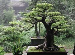 "Bonsai translates literally to ""tray planting"" COURTESY PHOTO"