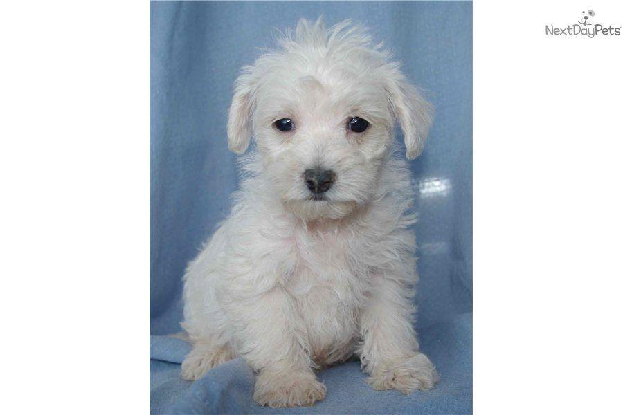 Westiepoo For Sale Westiepoo Cute Animals Puppies