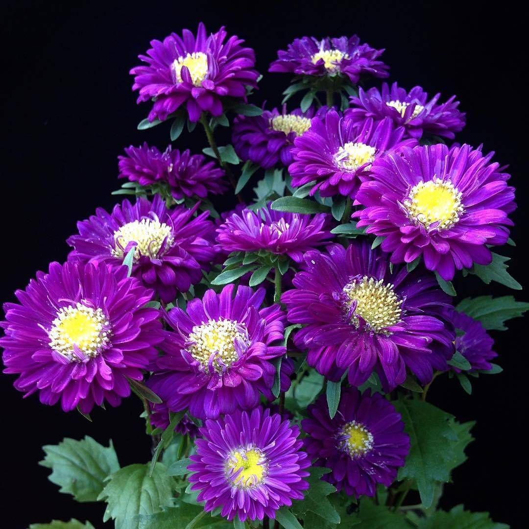 3 711 Otmetok Nravitsya 36 Kommentariev Flowers From Around The World Ponyfony Flowers V Instagram Ast Pretty Flowers Purple Garden Beautiful Flowers