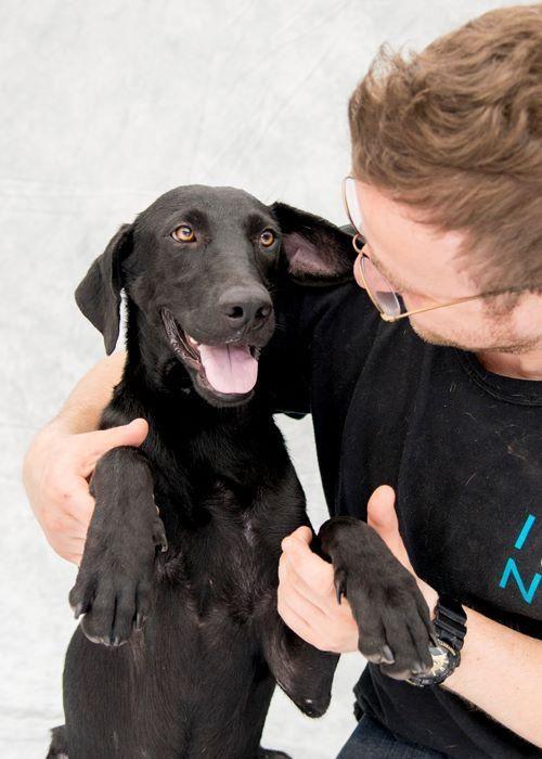 Adopt Nelson On Labrador Retriever Labrador Retriever Dog Black Labrador Retriever