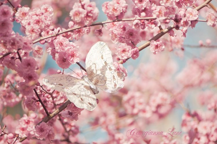 Secrets Of A Butterfly Cherry Blossom Tree Flowers Cherry Blossom