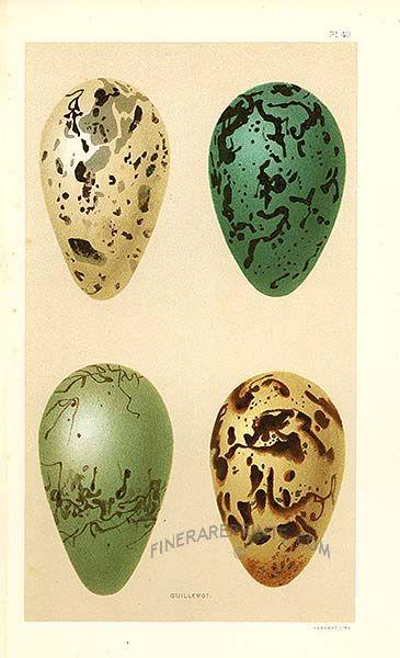 Guillemot Eggs From Bird Eggs By Henry Seebohm Birds Nests Eggs