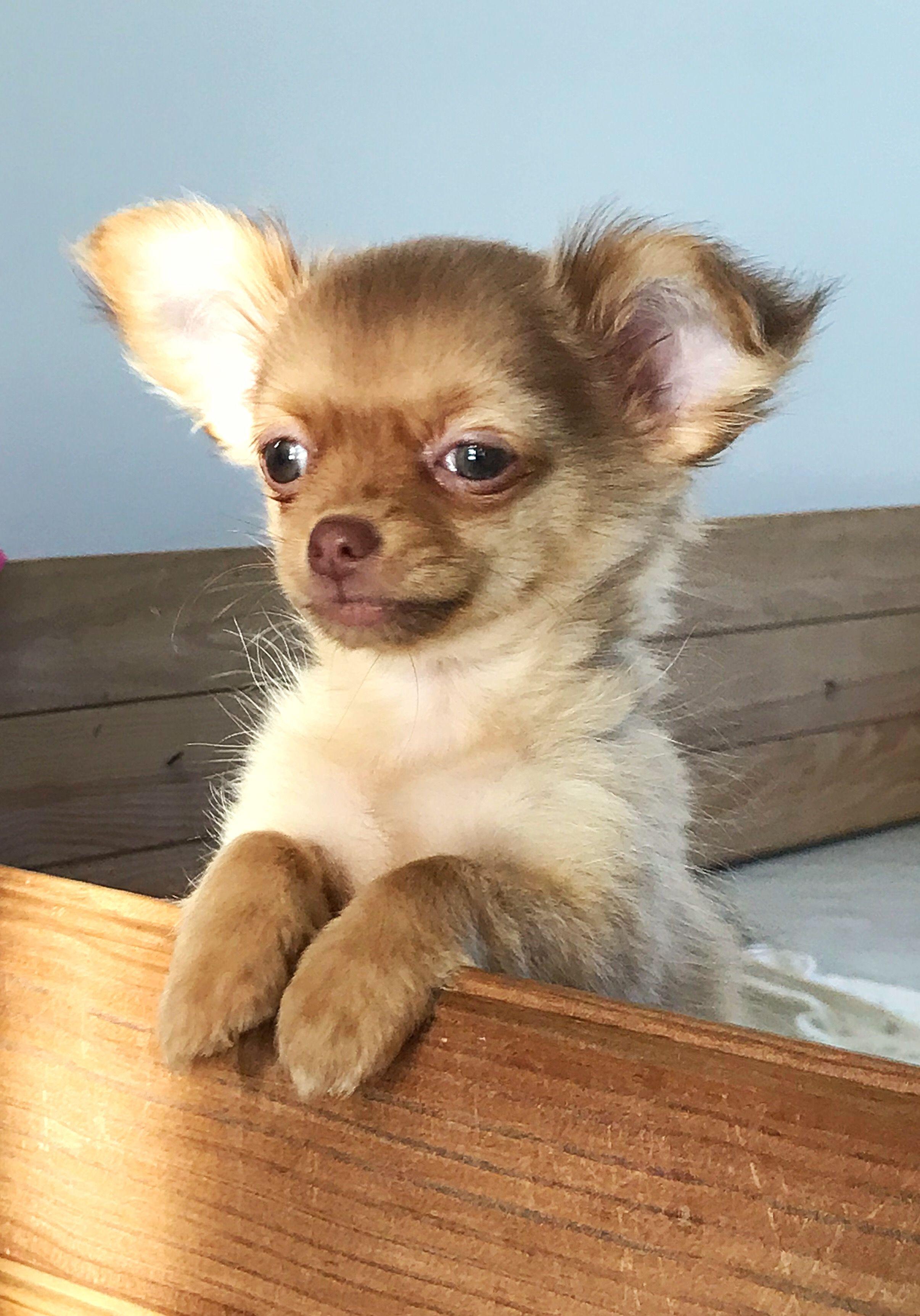 Baby Chihuahua Fauve Chihuahua Chihuahua Love Animals