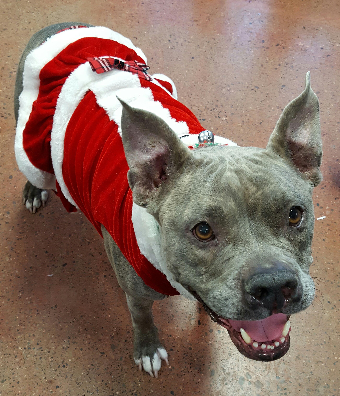 American French Bull Terrier dog for Adoption in Spokane