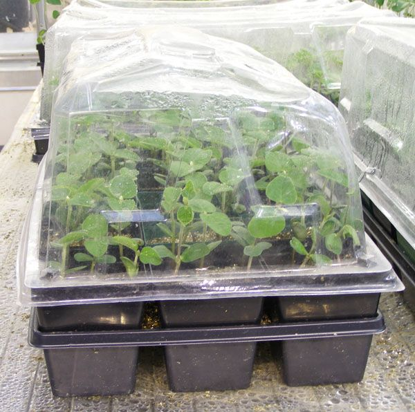Minnesota Gardening: When To Start Vegetable Seeds Indoors  Article From U  Of M