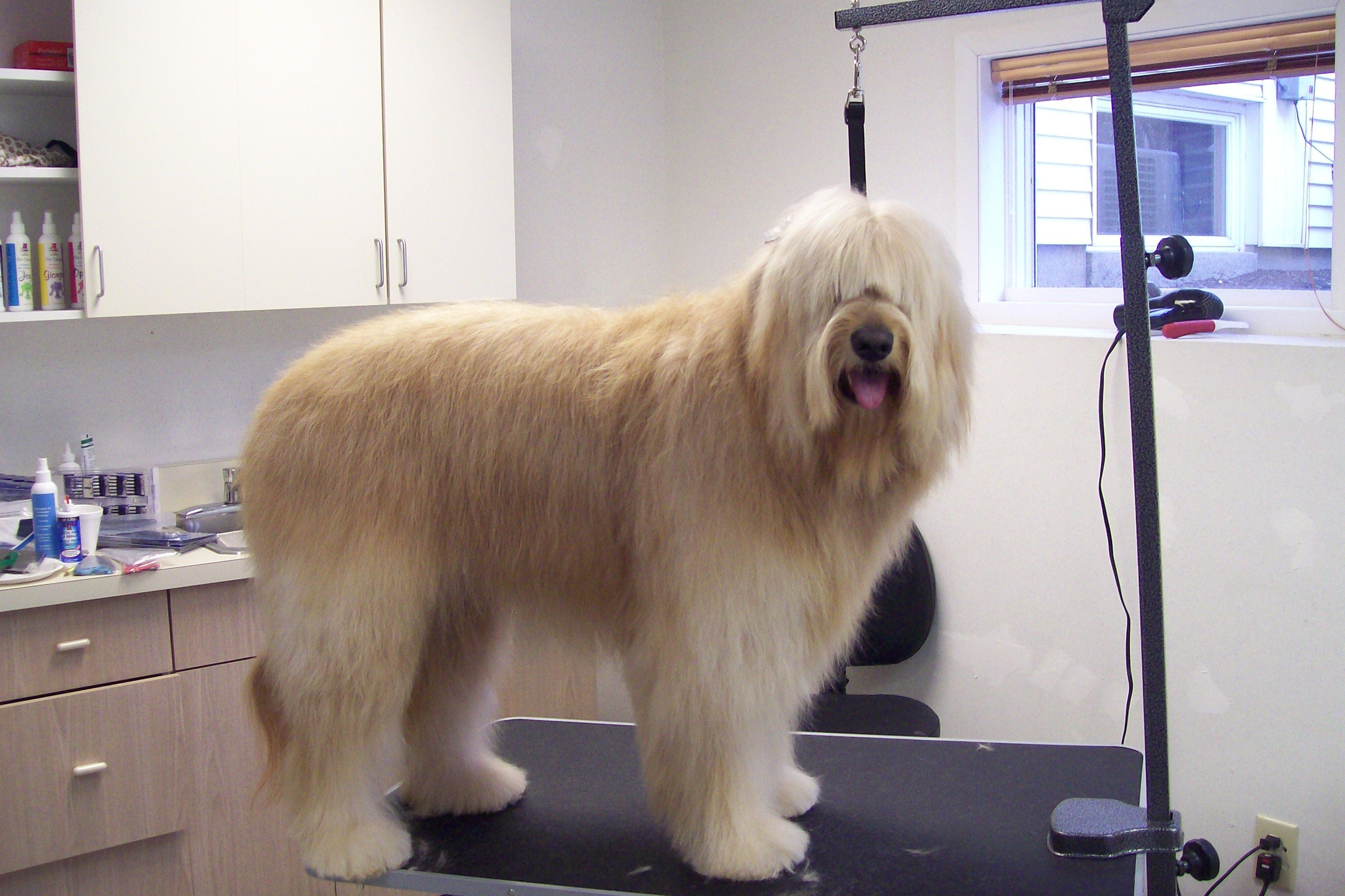 Grooming tips for goldendoodles need to do pinterest grooming tips for goldendoodles nvjuhfo Images