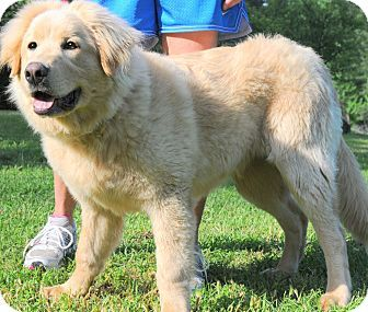 Newfoundland Golden Retriever Mix Golden Retriever Newfoundland