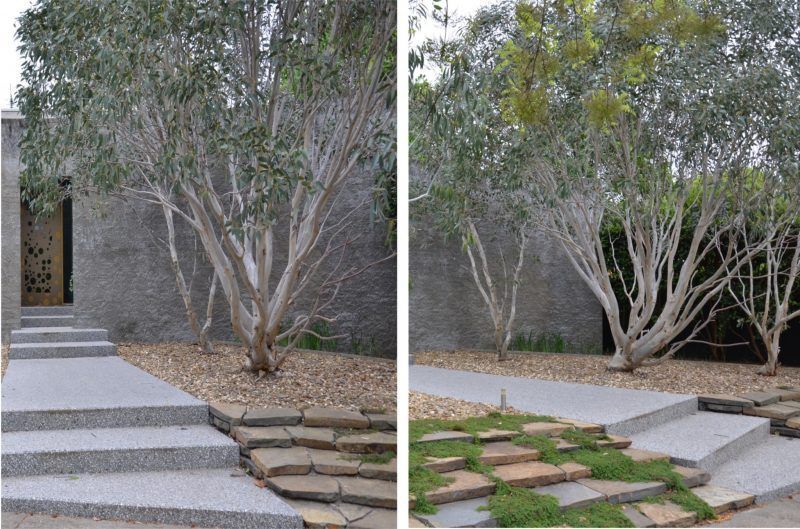Dwarf Snow Gum – Eucalyptus Pauciflora 'Little Snowman 400 x 300