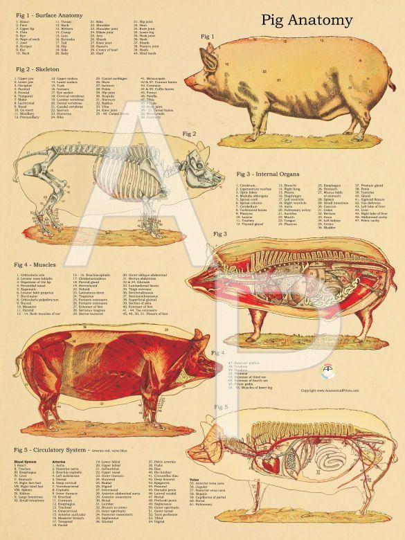 Pig Anatomy Poster 18 X 24 Anatomy And Animal