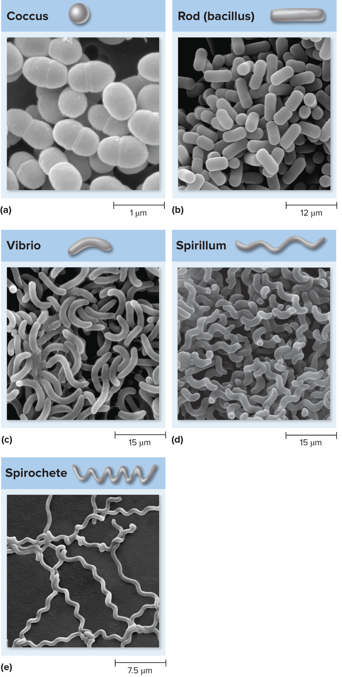 Bacteria Shapes With Images