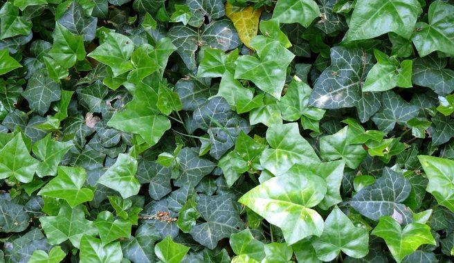 Plantas trepadoras de exterior perennes - Plantas verdes exterior ...