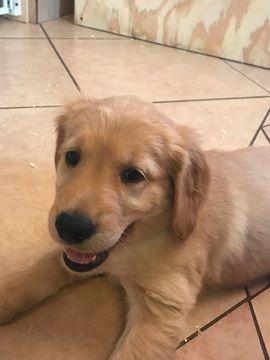Golden Retriever Puppy For Sale In Tularosa Nm Adn 42387 On
