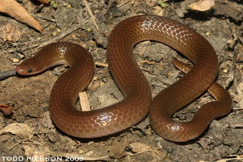Eastern Worm Snake Nv Snake Beautiful Snakes Pest Solutions