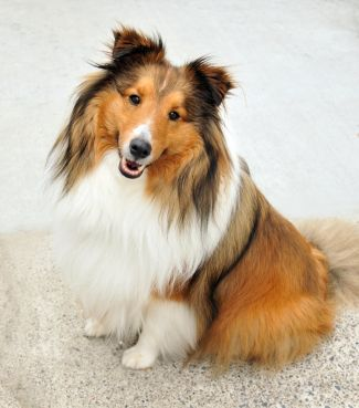 Shetland Sheepdog Photo Shetland Sheepdog Herding Group Dog