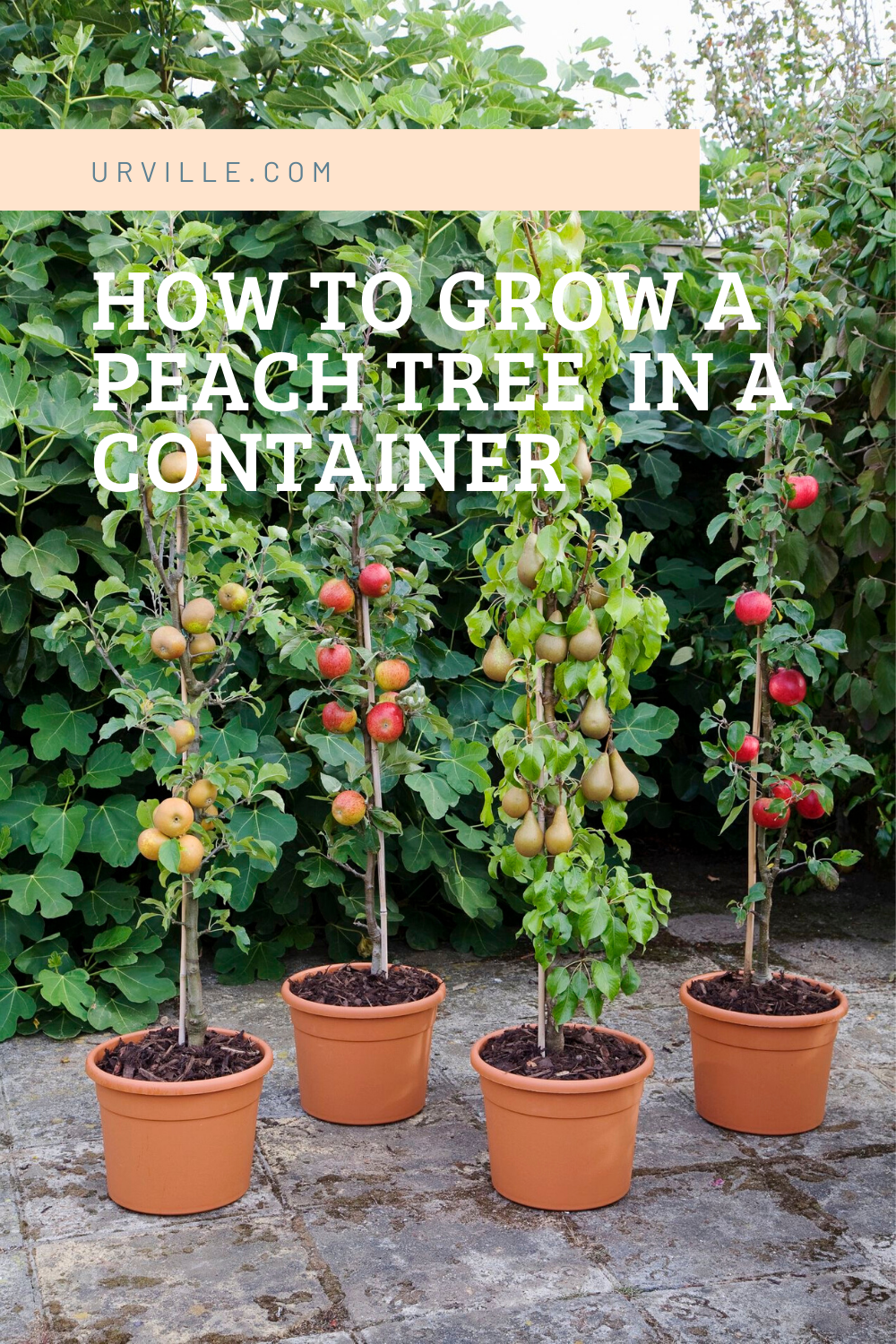 How To Grow A Peach Tree In A Container Dwarf Fruit Trees Growing Fruit Trees Fruit Trees In Containers