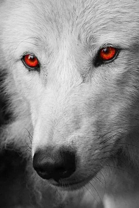 Ghost Jon Snow S White Wolf Fond D Ecran Loup Loup Blanc Images Loup