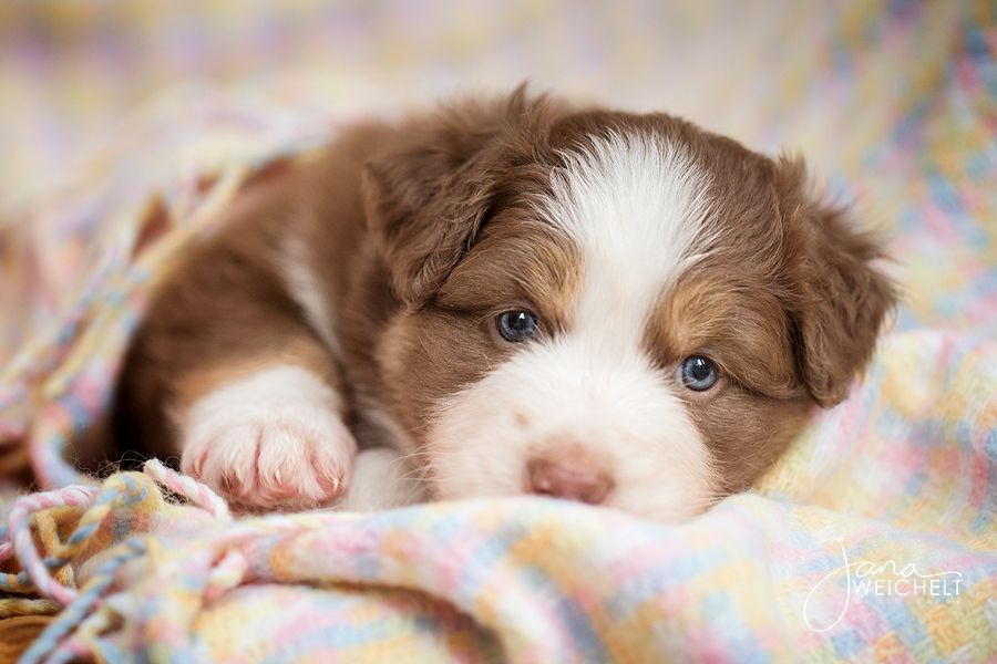 Aussies Have The Cutest Little Backsides With Images Aussie Puppies Australian Shepherd Puppies And Kitties