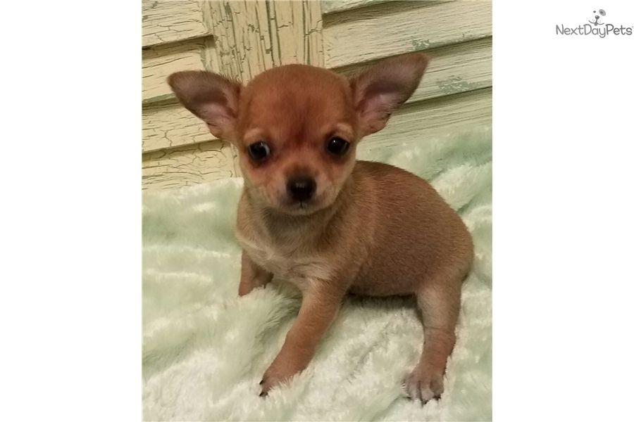 Xoloitzcuintli Puppy For Sale Near Houston Texas D44eed40 80e1