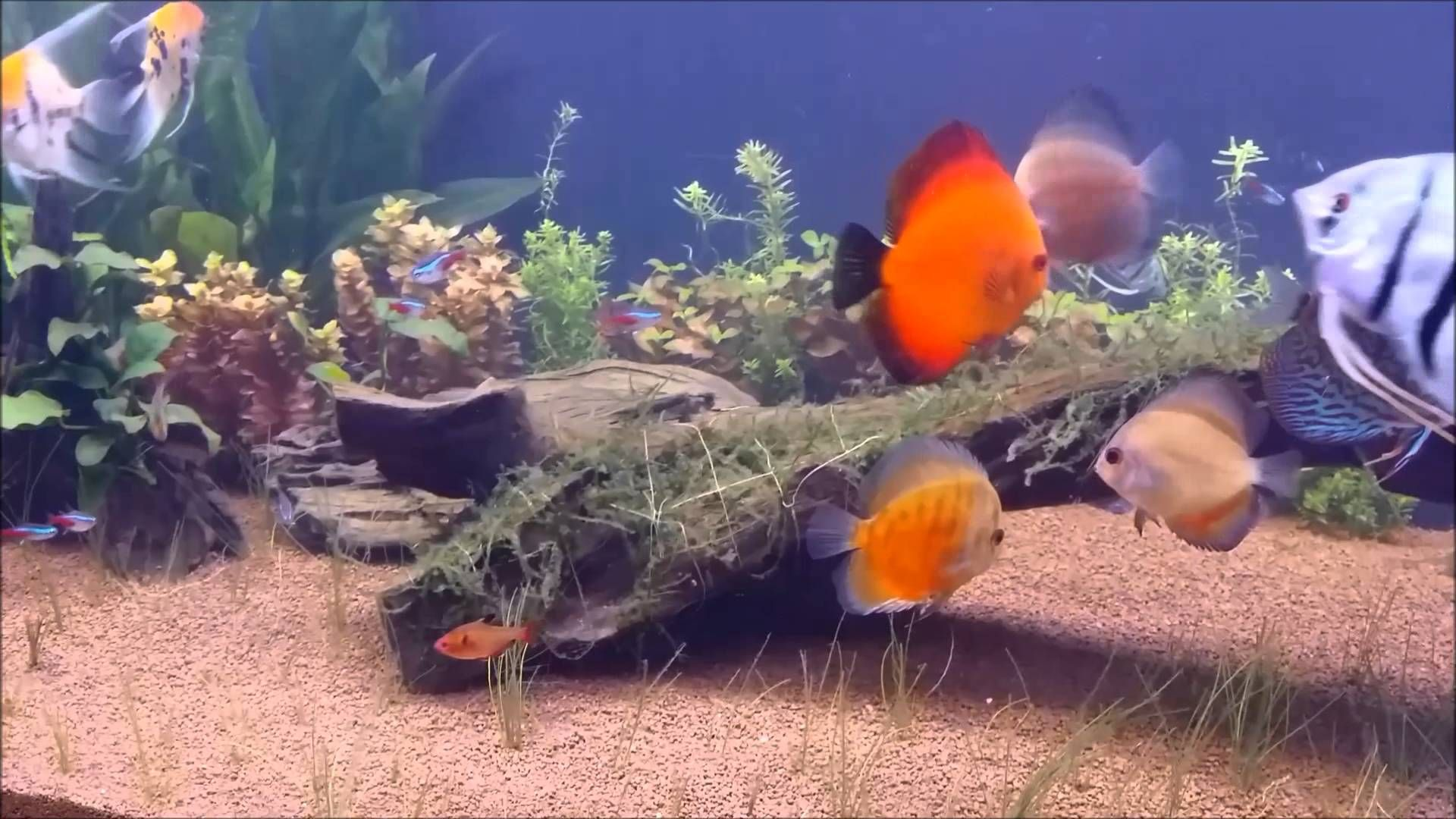 Discus, Angel Fish, And German Blue Rams Welcome To The