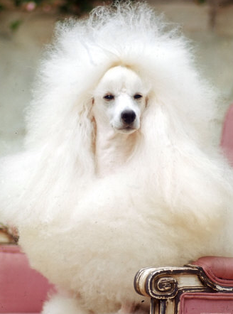 Fashion S Most Wanted Mad On Poodles Poodle Dog Westminster Dog Show Poodle