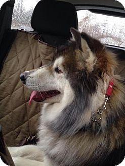 Baltimore Md Siberian Husky Alaskan Malamute Mix Meet Sasha A