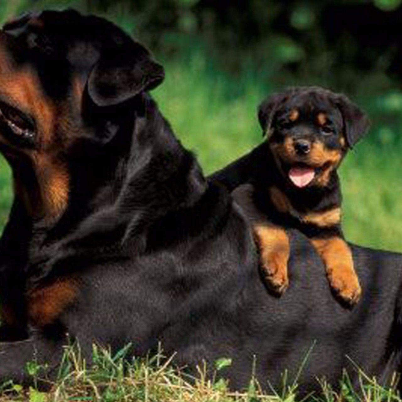 Rottweiler Wallpaper: Family Rottweiler 4K Wallpaper