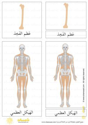 الهيكل العظمي درس ثلاثي المراحل 1