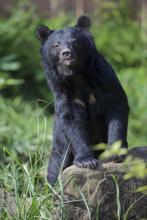Curious Bear by Joe Motohashi | Bear, Bear pictures, Bear photos
