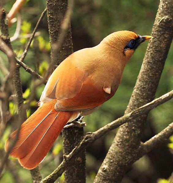 Buffy Laughingthrush (Leiothrichidae: Garrulax berthemyi ...