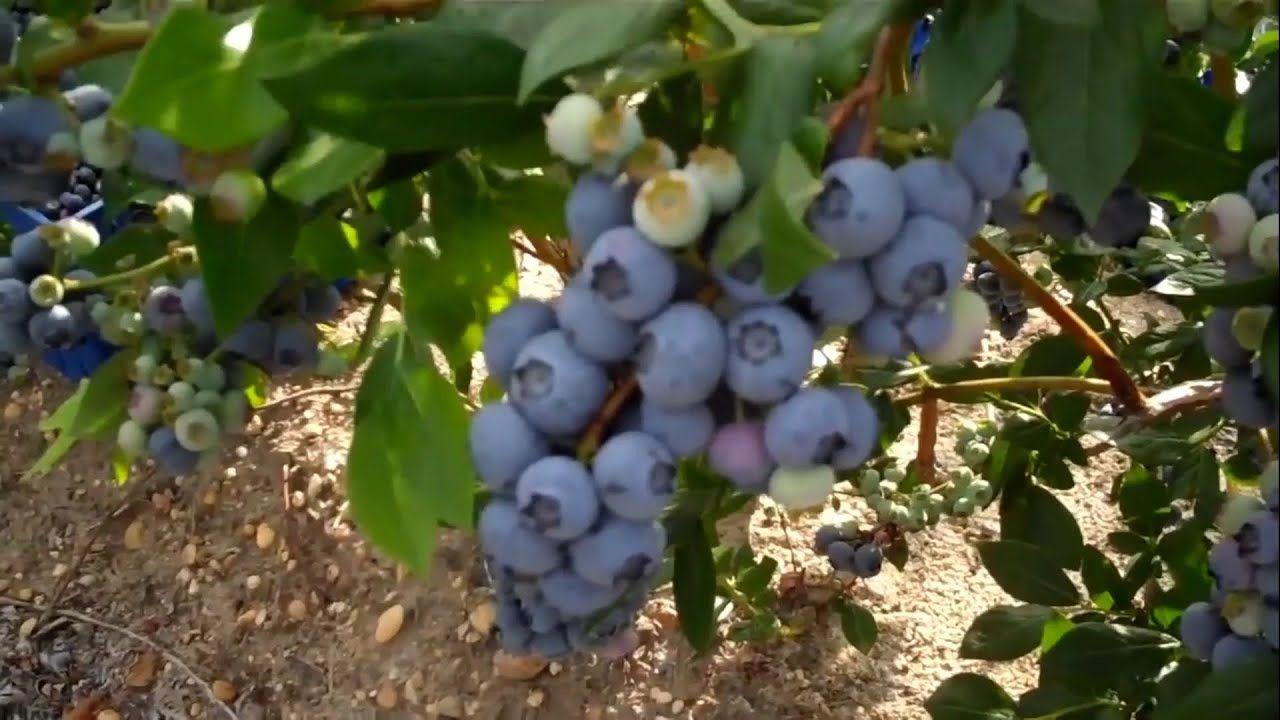 زراعة فاكهة البلوبيري لاصحاب الاراضي فاكهة غالية Youtube Grapes Fruit Blueberry